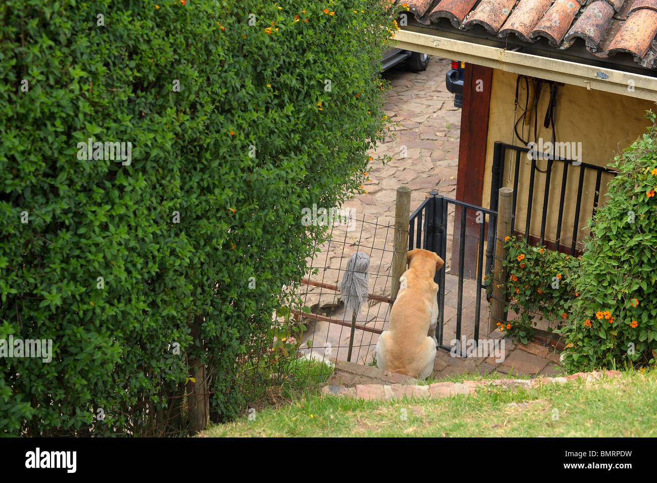 Dog Sitting In Enclosed Garden Area At Home In Bogota, Colombia