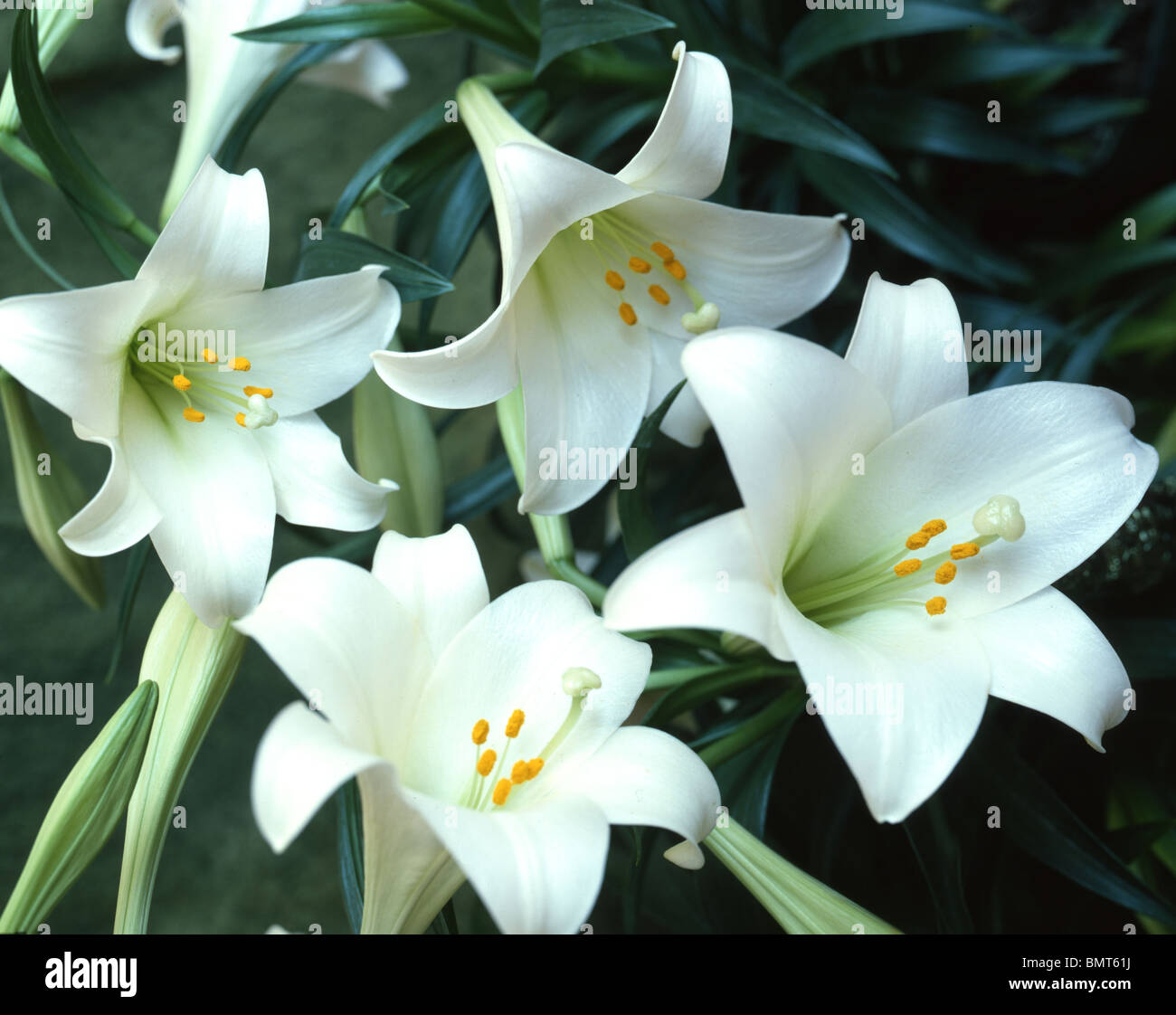 easter lillies stock photo, royalty free image   alamy, Beautiful flower