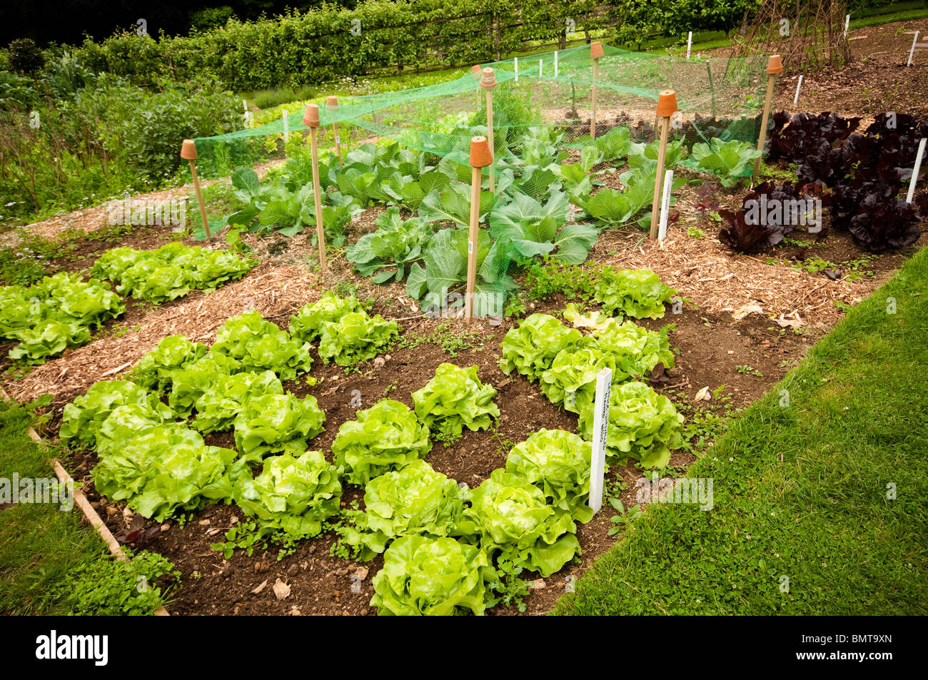 The Kitchen Garden Cabbage Golden Acre Growing Underneath Netting In The Kitchen