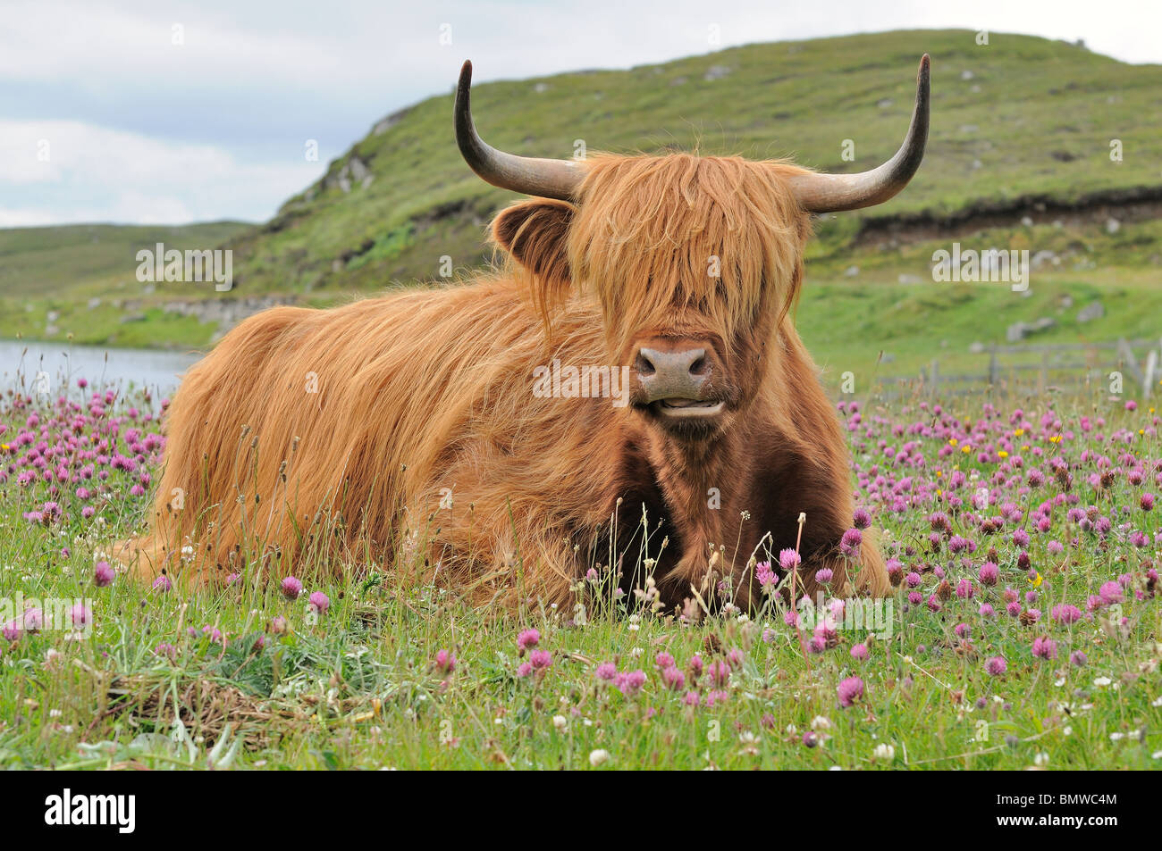 Highland cow heilan coo isle of lewis scotland stock for Www coo
