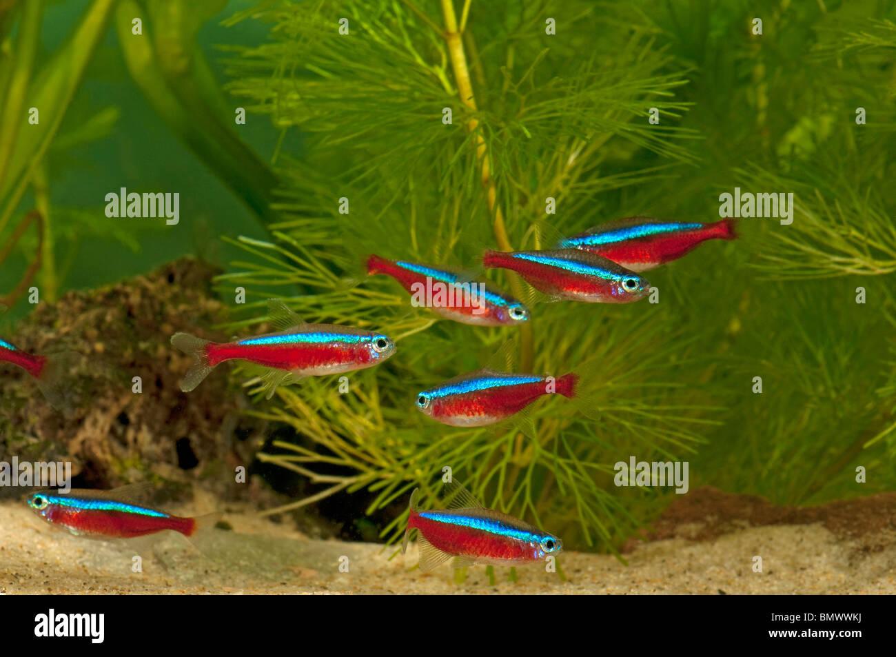 Neon tetra cardinal tetra paracheirodon axelrodi swarm for Neon aquarium