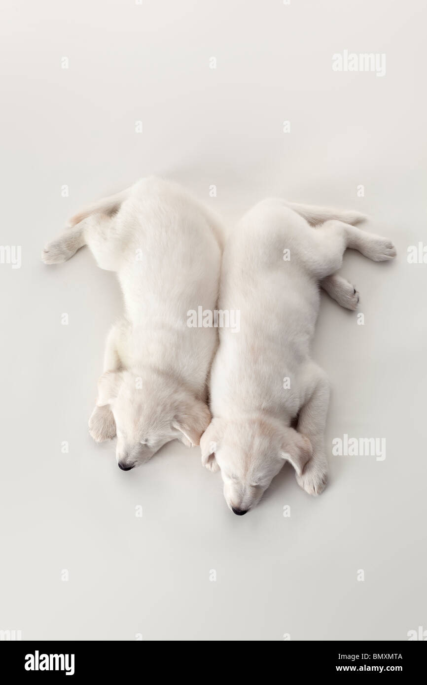 Two cute white puppies sleeping on white background seen from