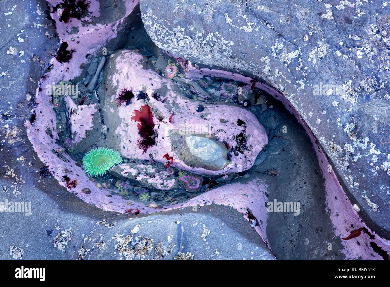 Sea Anemone In Tide Pool At Rialto Beach Olympic National Park Stock Photo Royalty Free Image