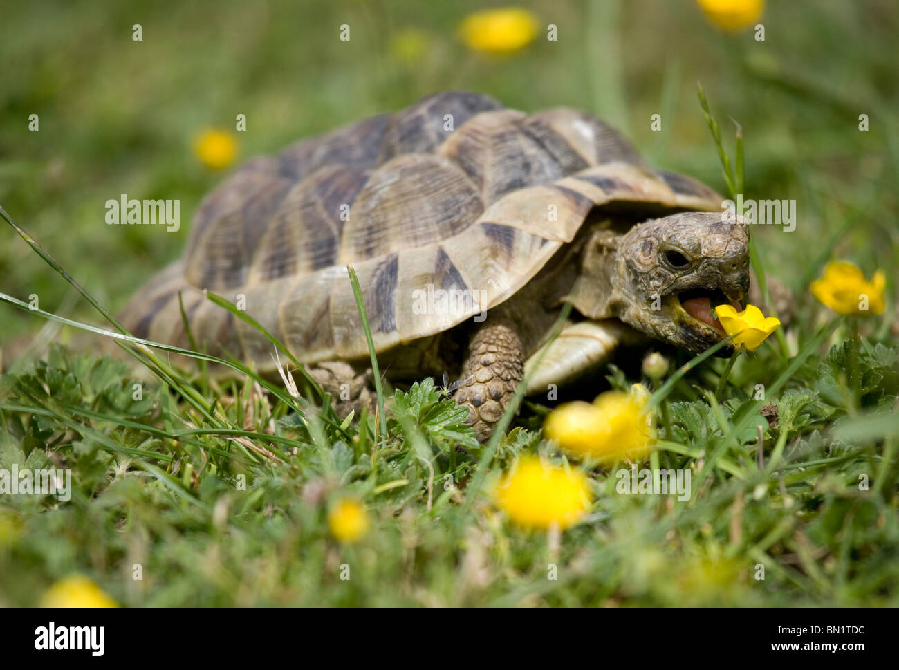 eating and tortoise Find the perfect giant tortoise eating stock photo huge collection, amazing choice, 100+ million high quality, affordable rf and rm images no need to register, buy now.