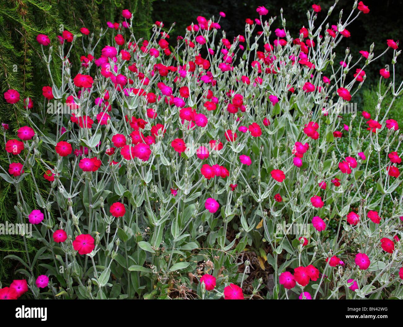 Rose campion red flowers Lychnis coronaria Stock Photo ...