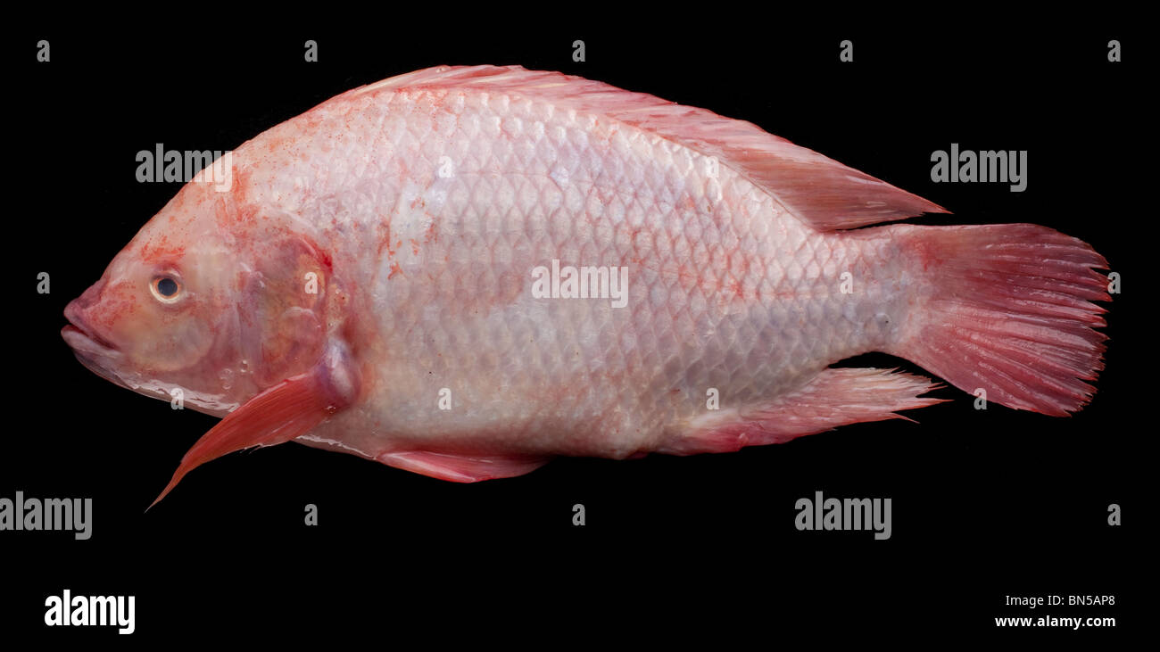 St peters fish images galleries with for Is tilapia fish good for you