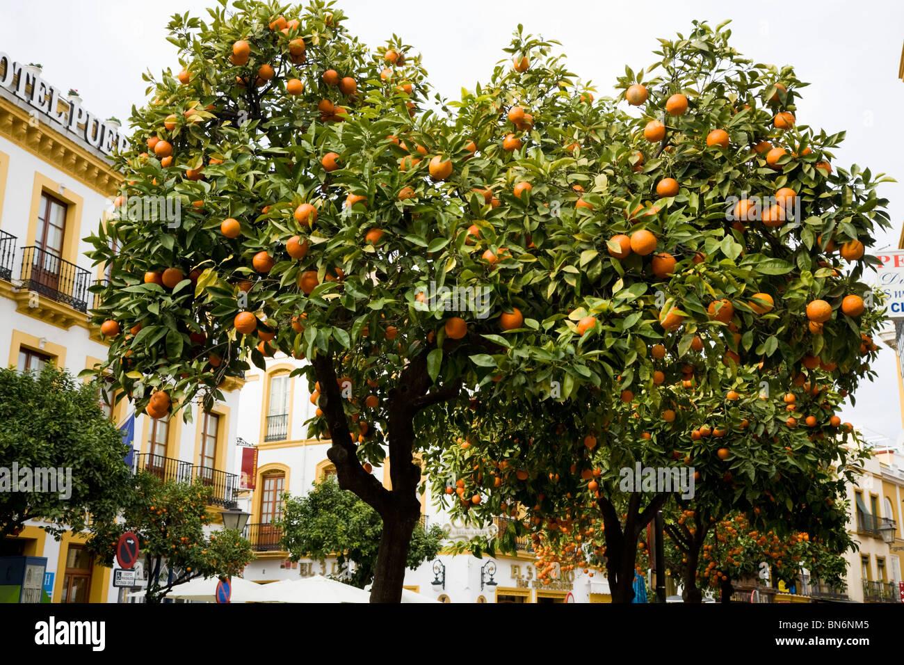 Fruiting orange fruit tree trees growing on the street - Orange en sevilla ...