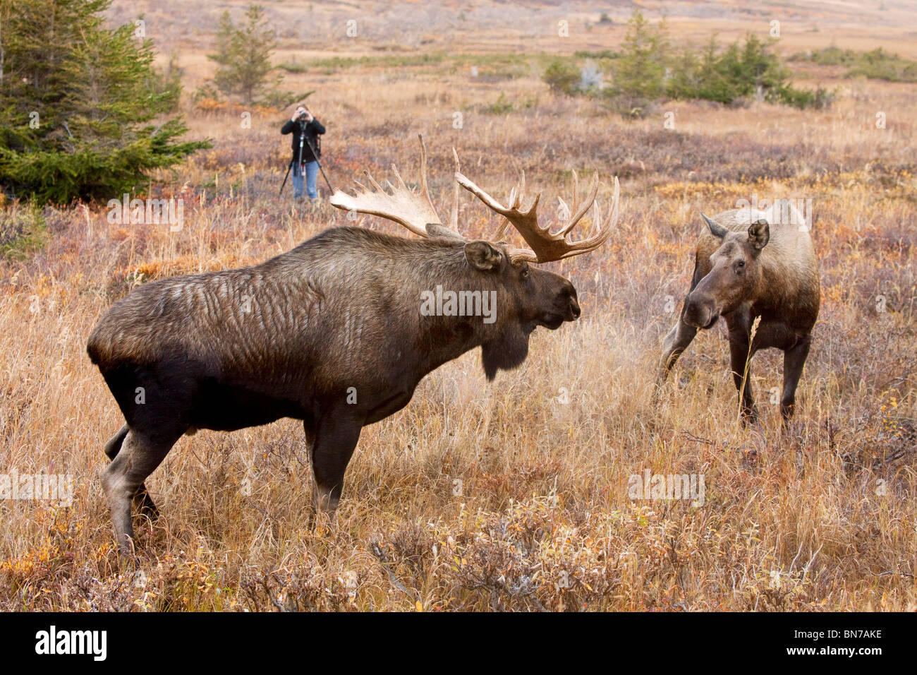 the bull moose 7 day fall moose hunt sentinel mountain safari's has an 85% success rate on bull moose hunts we have one of the highest populations of moose in british columbia.