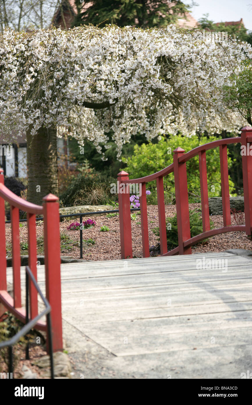 chester zoological gardens japanese style wooden bridge chester zoos rock garden with a cherry blossom tree in the background - Japanese Garden Cherry Blossom Bridge