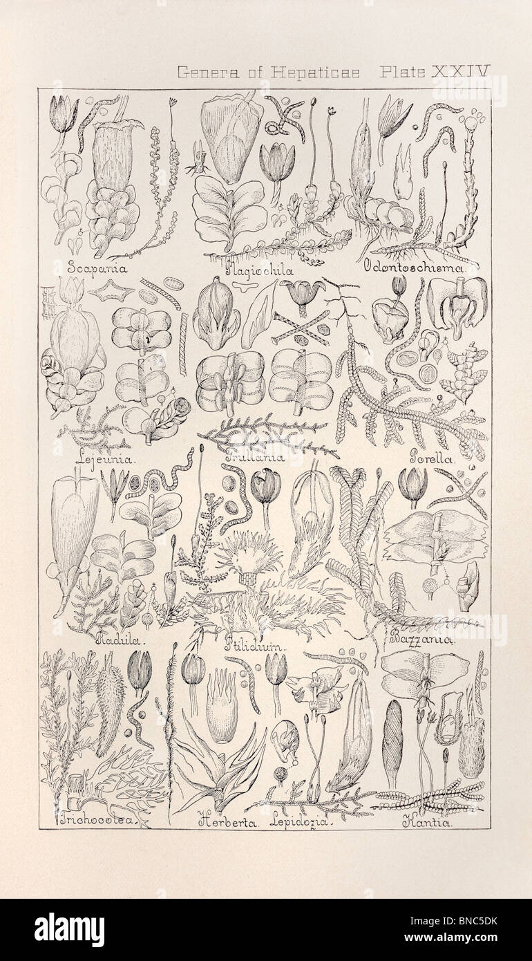 Botanical print from Manual of Botany of the Northern United