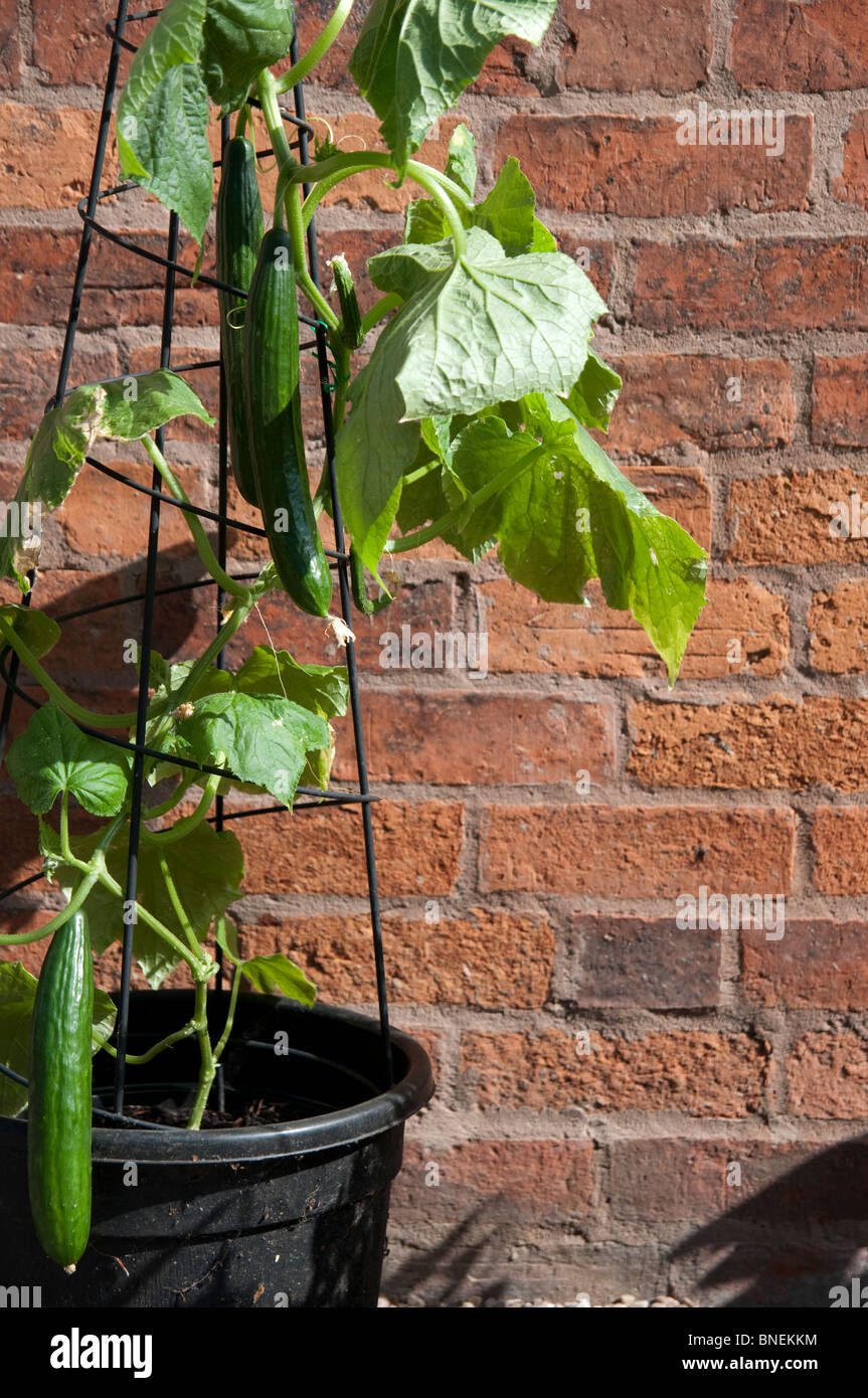 cucumber plant growing in a pot with a metal support