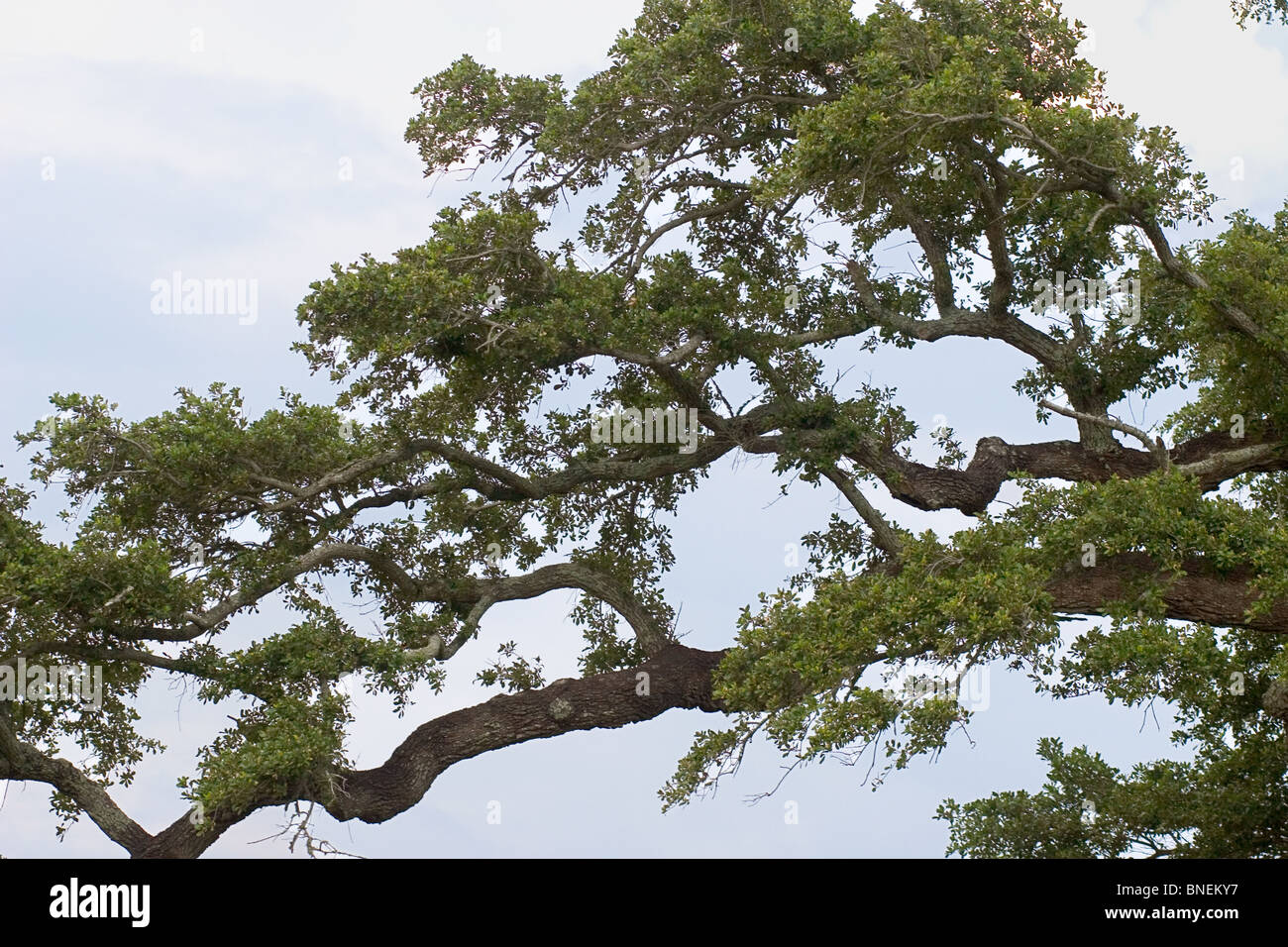 branches of a century old live oak tree along the mississippi gulf