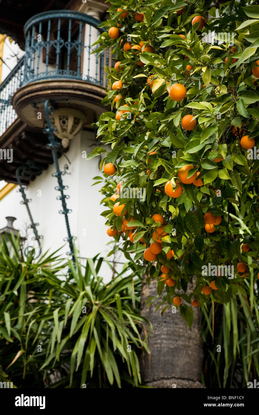 Oranges growing orange trees orange tree in front of - Orange en sevilla ...
