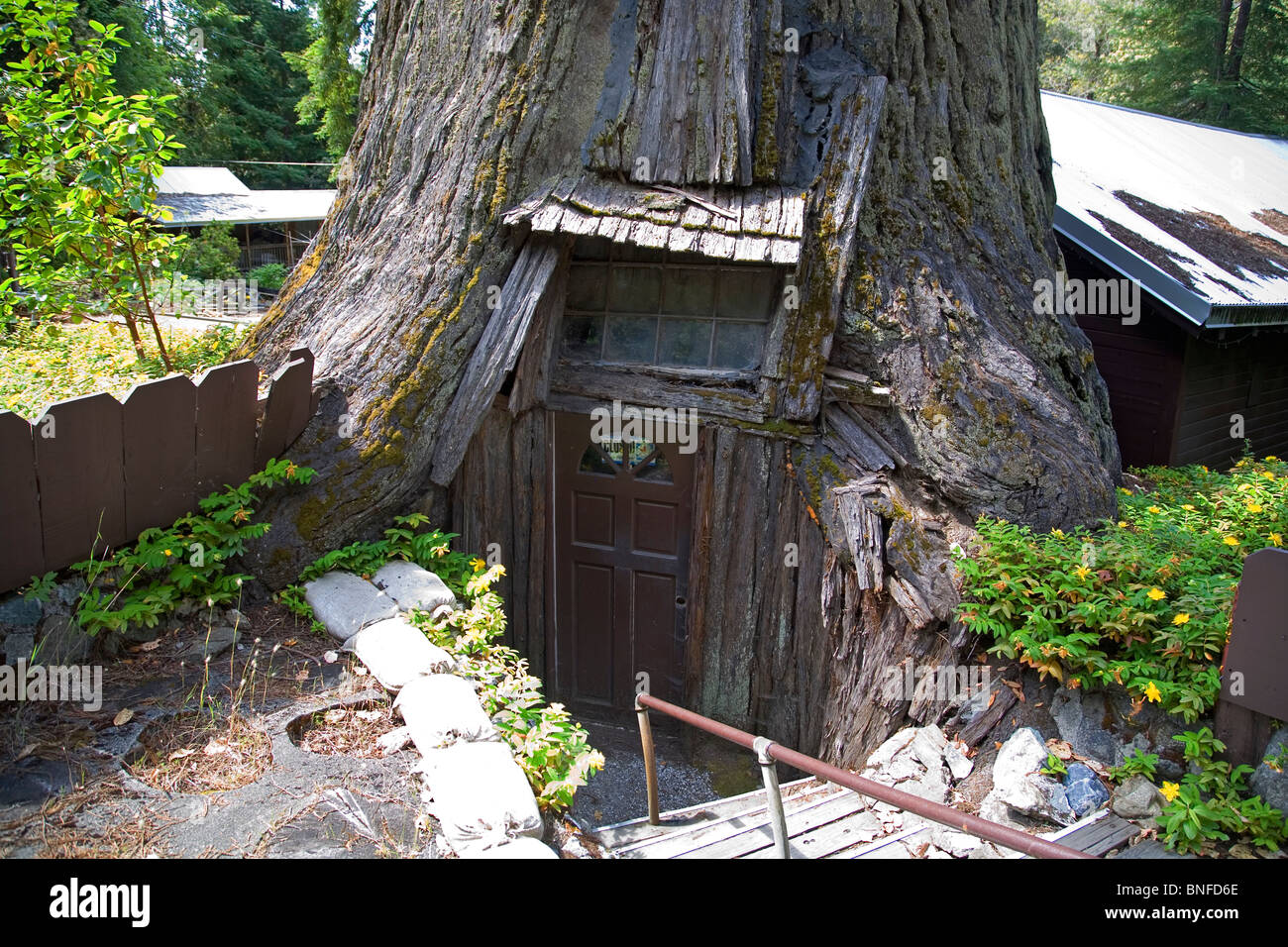 stock photo the tree house a house built inside a giant redwood tree in northern californias redwoods national park avenue of the giants - Tree House Inside