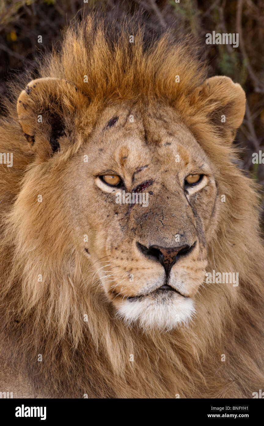Male Lion Panthera leo with scratched face after fighting ...