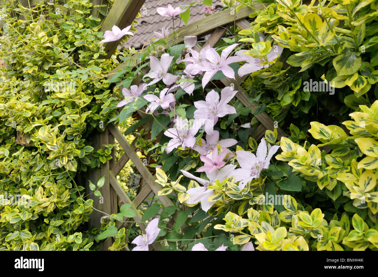 clematis clematis piilu and winter creeper euonymus fortunei stock photo royalty free image. Black Bedroom Furniture Sets. Home Design Ideas