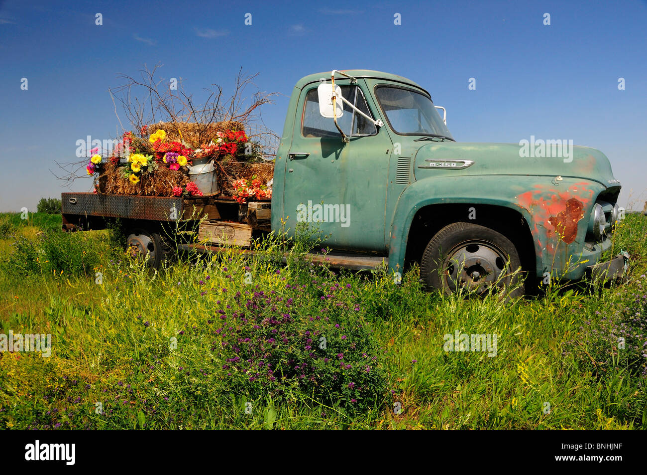 Canada Flowers Old Pickup Truck near Brooks Alberta province wreck ...