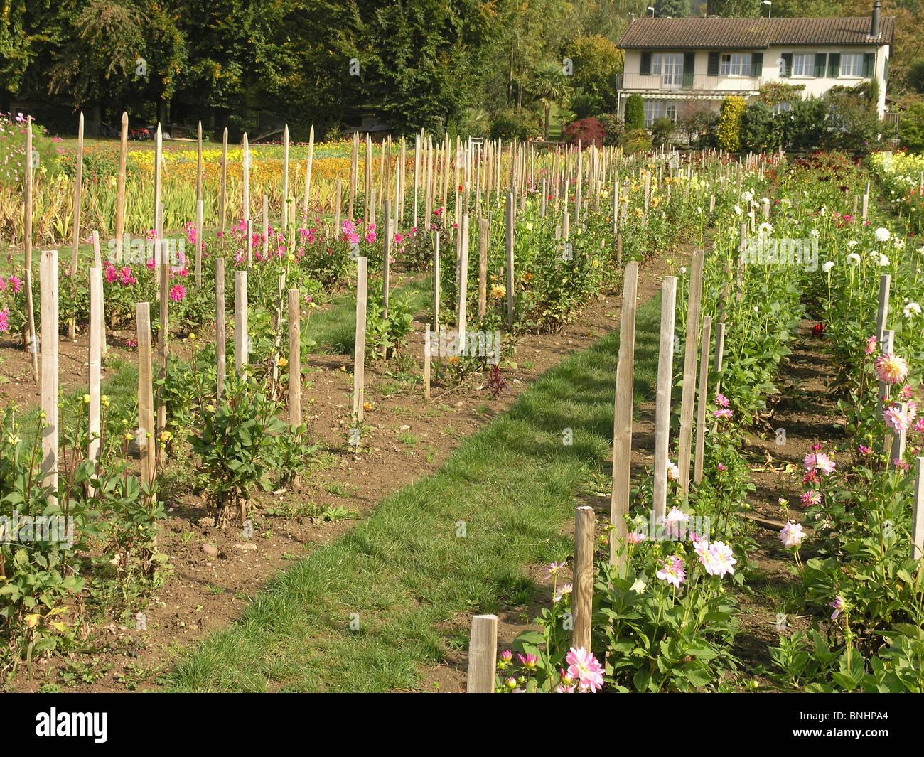 Switzerland Market Garden Flowers Flowering Poles Plants Field