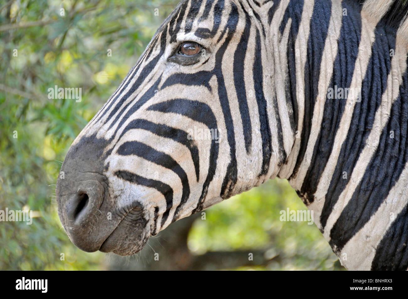 Plains Zebra Equus quagga Hluhluwe-Imfolozi Park South ...