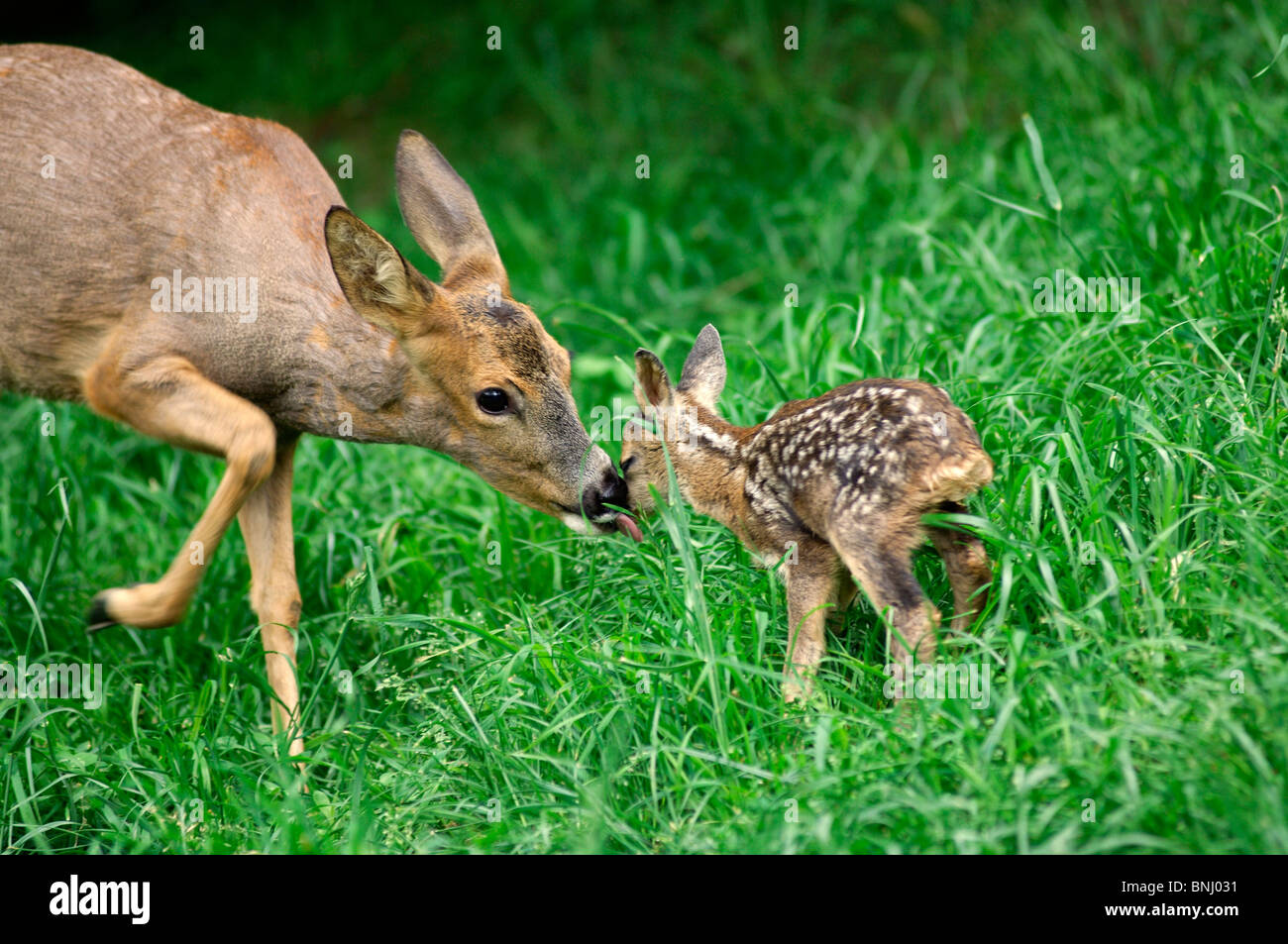 what is an adult fawn called