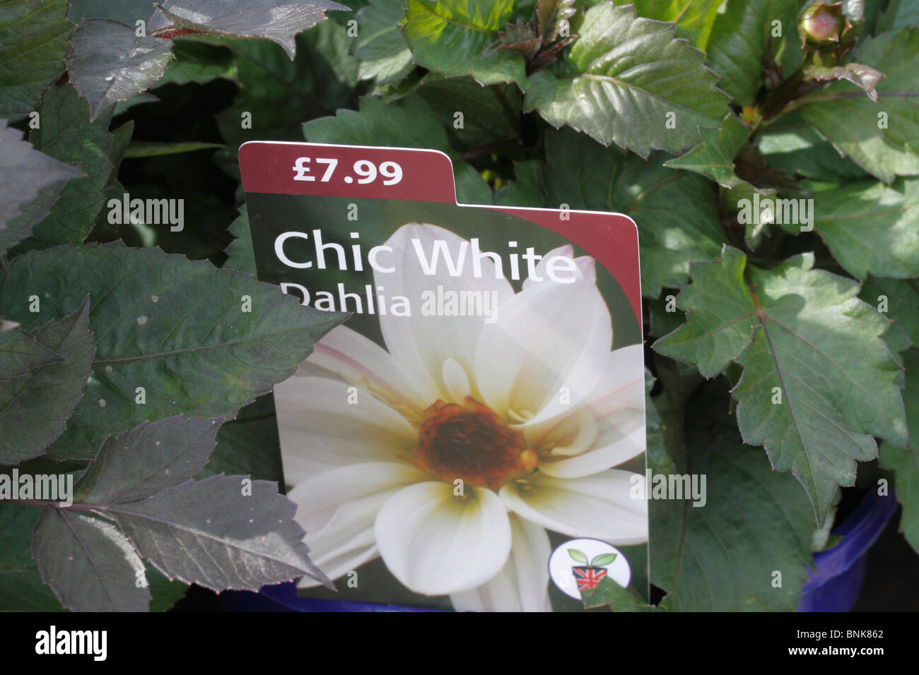 Asteraceae dahlia chic white ball flower with dark foliage small asteraceae dahlia chic white ball flower with dark foliage small tuberous perennial with toothed almost black pinnate leaves and large double mightylinksfo Image collections