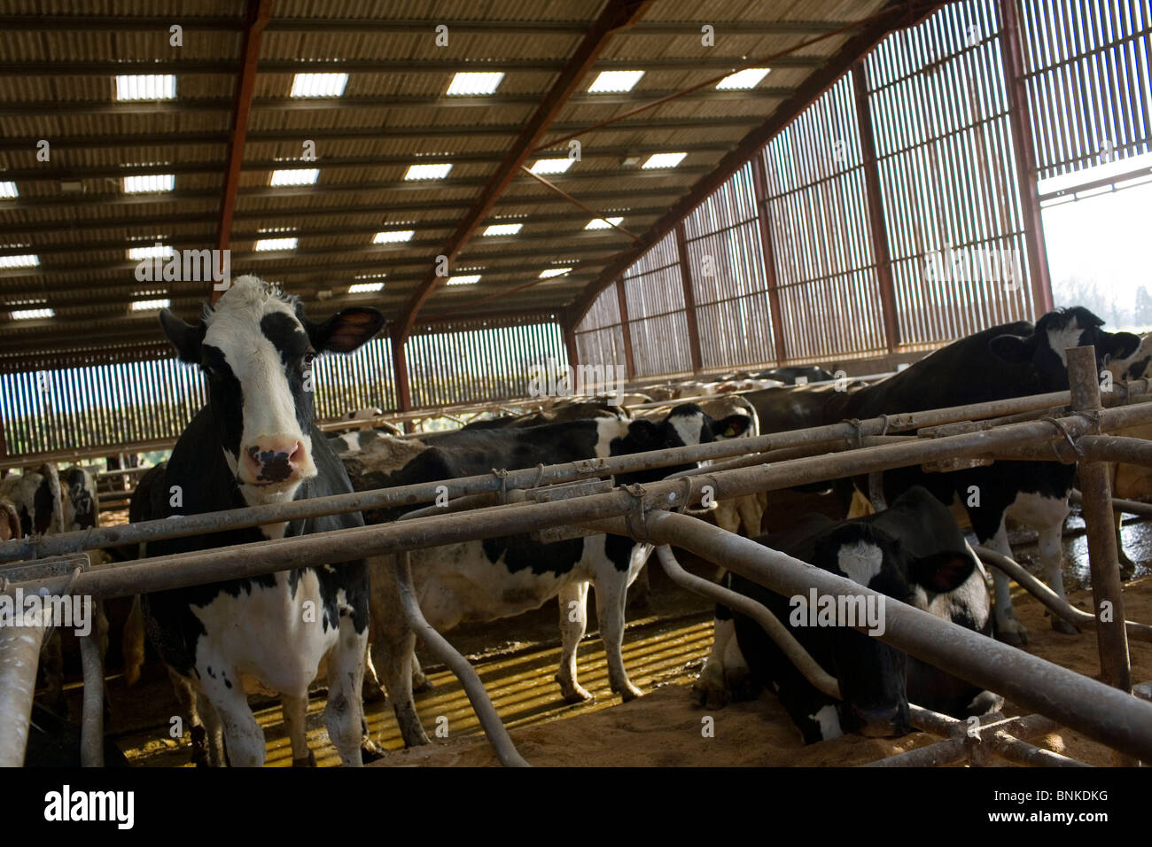 Cows in a shed on a dairy farm in somerset stock image