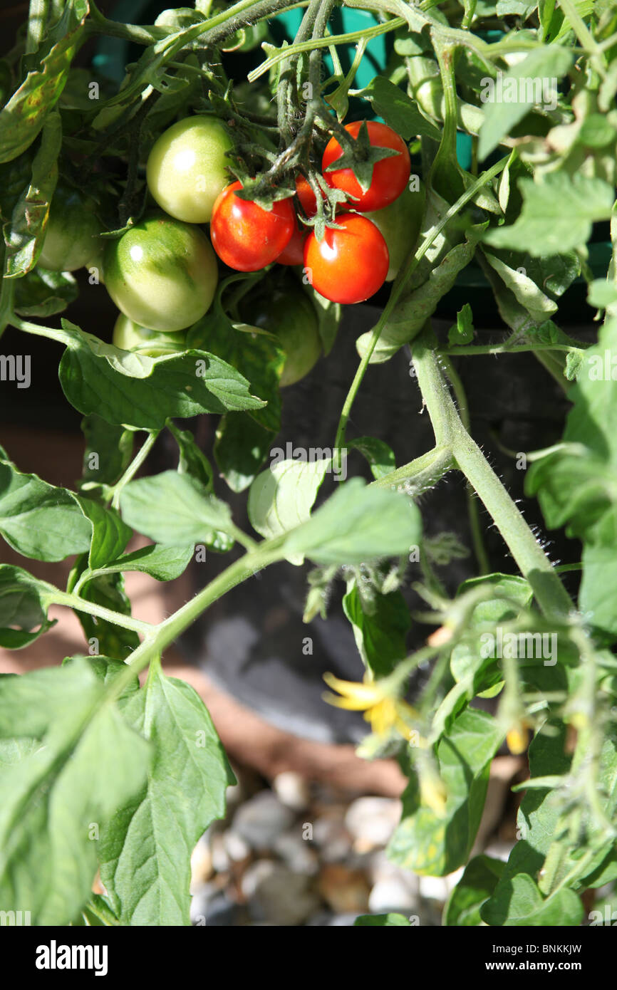 Growing cherry tomatoes in pots - Stock Photo Cherry Tomatoes Growing In Pot