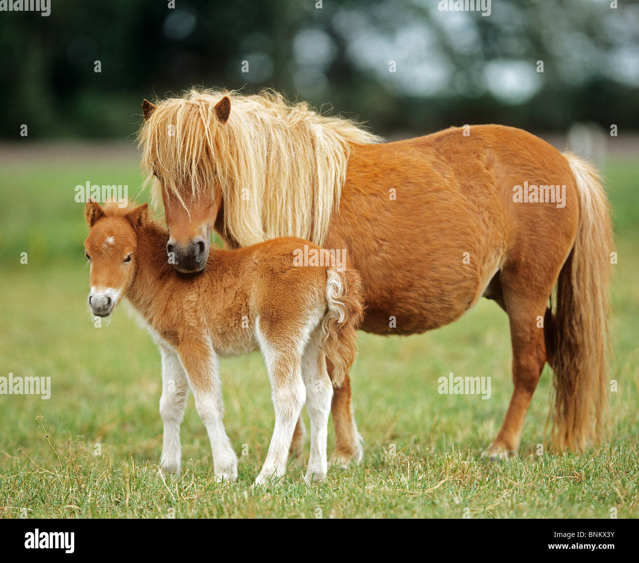 miniature shetland pony mare with foal on a meadow stock photo royalty free image 30555727. Black Bedroom Furniture Sets. Home Design Ideas