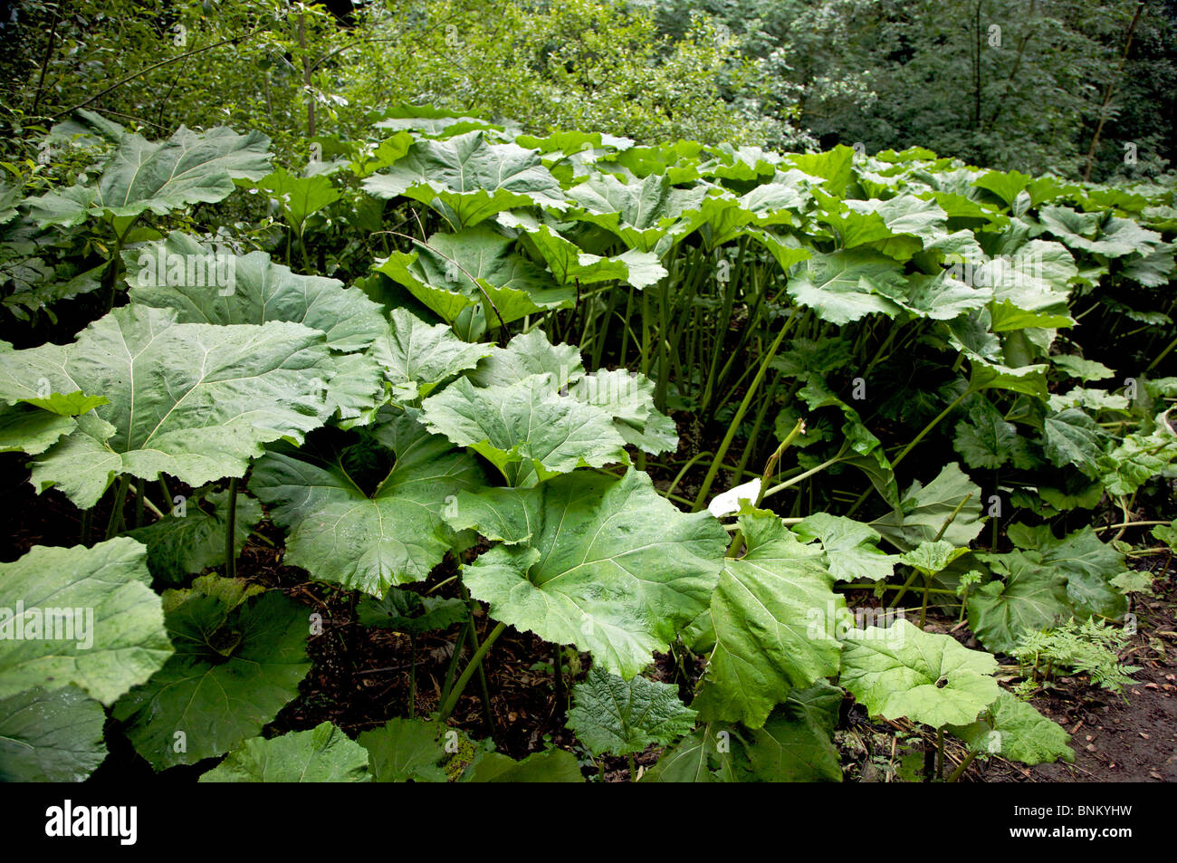large gunnera plants Stock Photo Royalty Free Image 30556901 Alamy