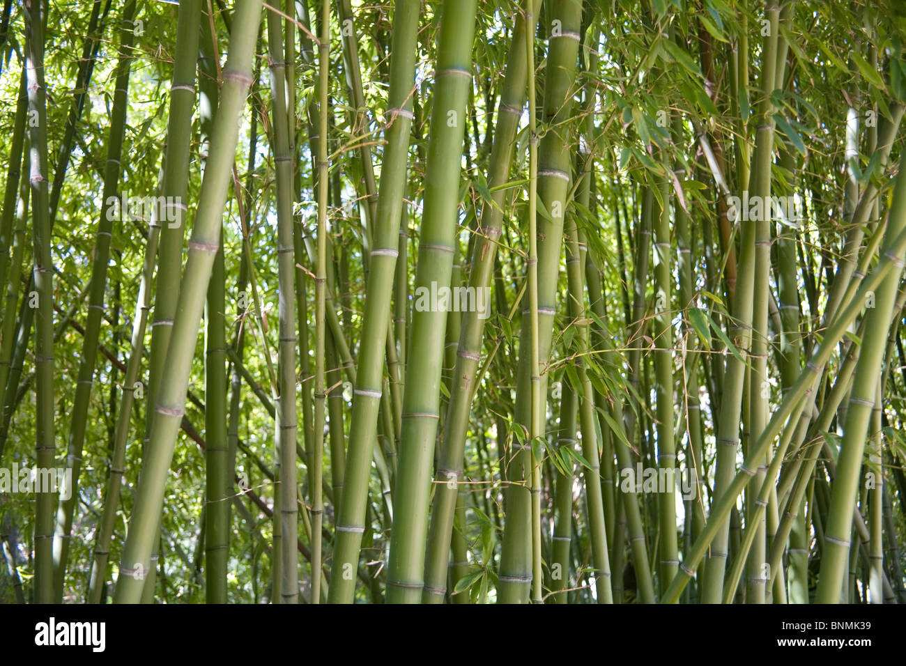 Image source plantsam com - A Forest Of Geen Bamboo Plants This Plant Is Used In Gardens As A Building Material And As A Food Source