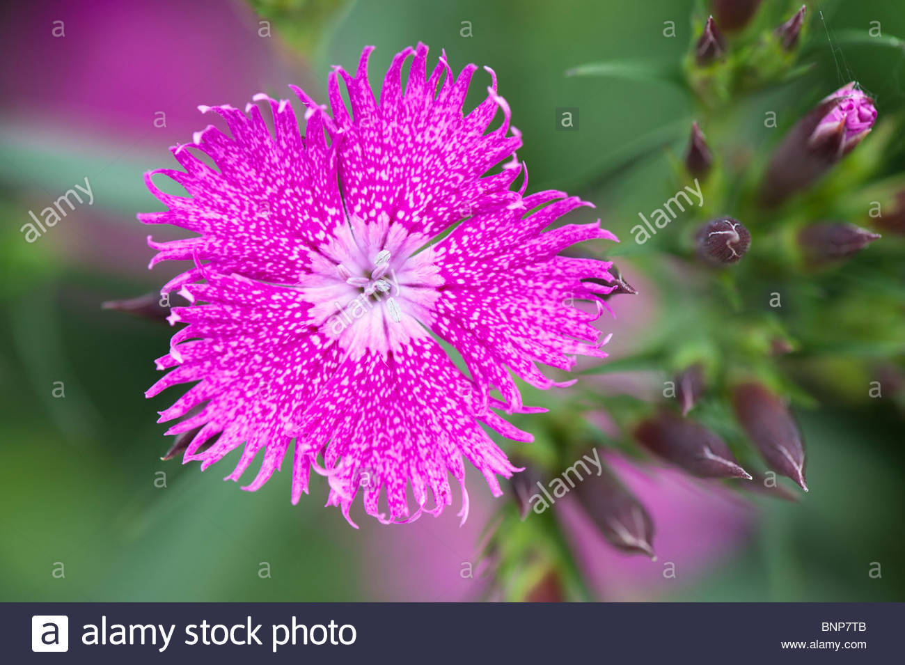 Dianthus barbatus integerrima Bouquet Purple Sweet William flower