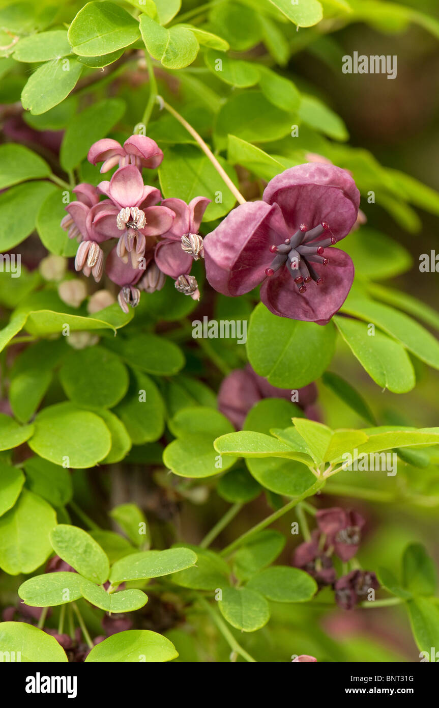 Chocolate Vine, Five Leaf Akebia (Akebia quinata), flowering Stock ...