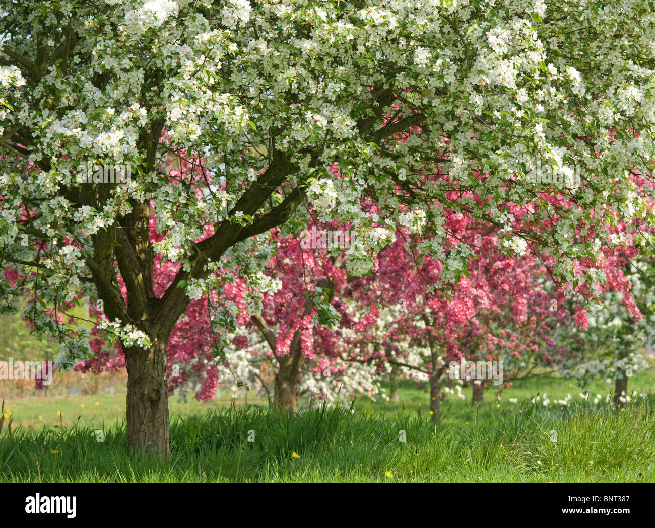 Flowering fruit trees at rhs garden at wisley england for Garden trees england
