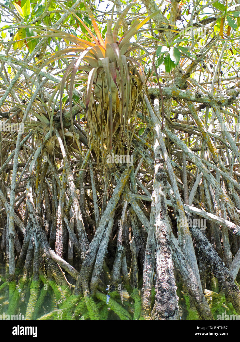 Bromeliad air plant sits in tangle of mangrove roots in a canal on ...