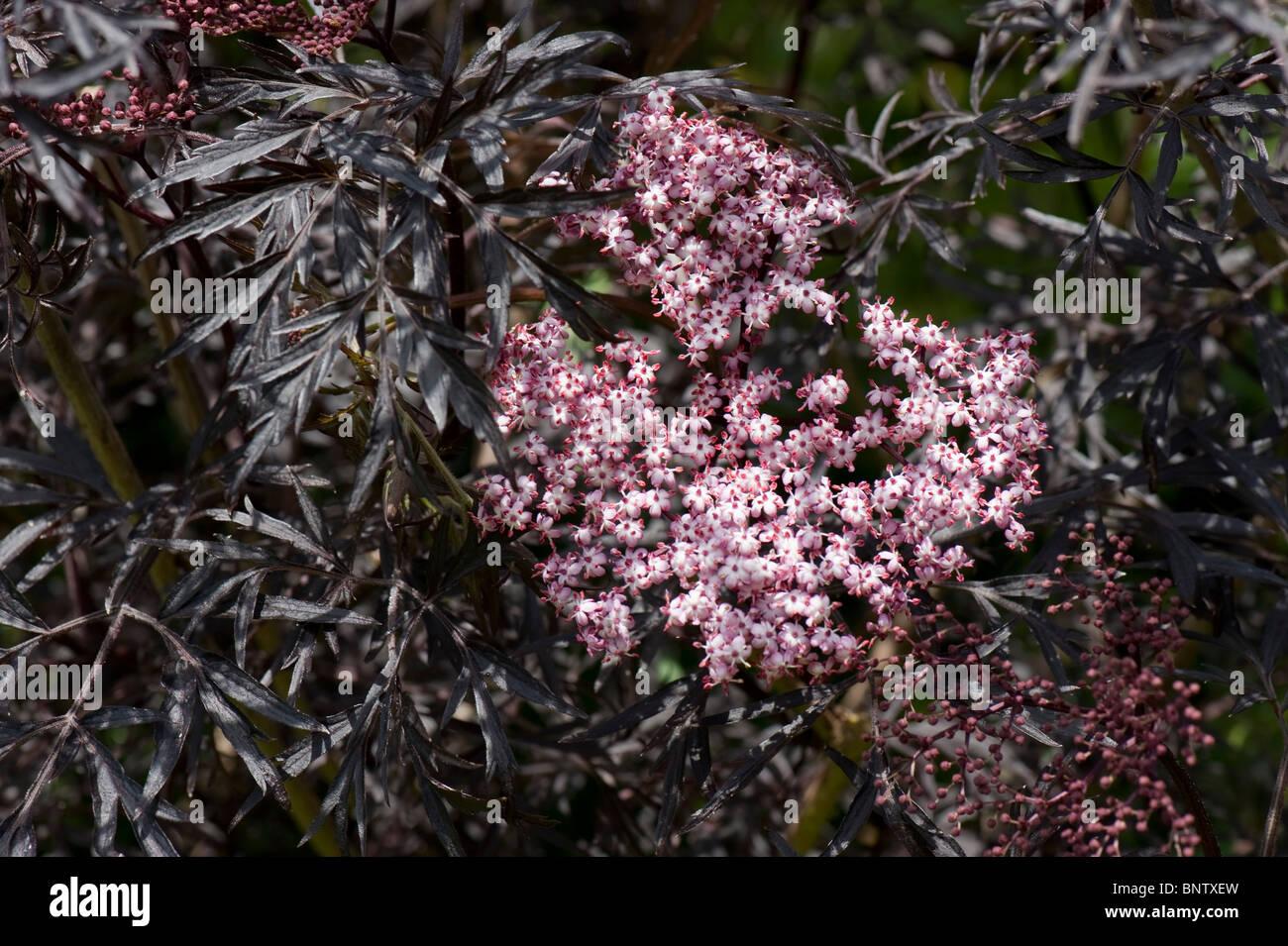 elder sambucus nigra black lace pink flowers with fine black stock photo royalty free image. Black Bedroom Furniture Sets. Home Design Ideas