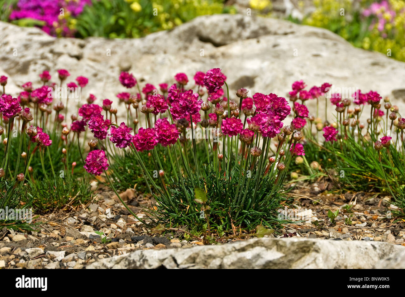 Alpine plants growing in rock garden England UK United Kingdom GB – Plants for a Rock Garden