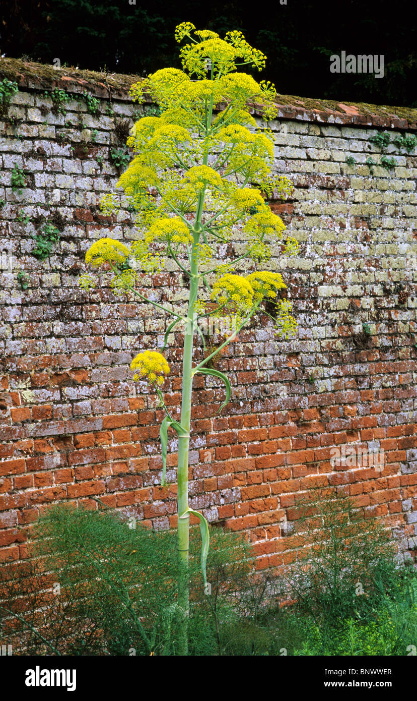 Ferrula Communis, Giant Fennel Yellow Flower Flowers Tall Garden Plant  Plants