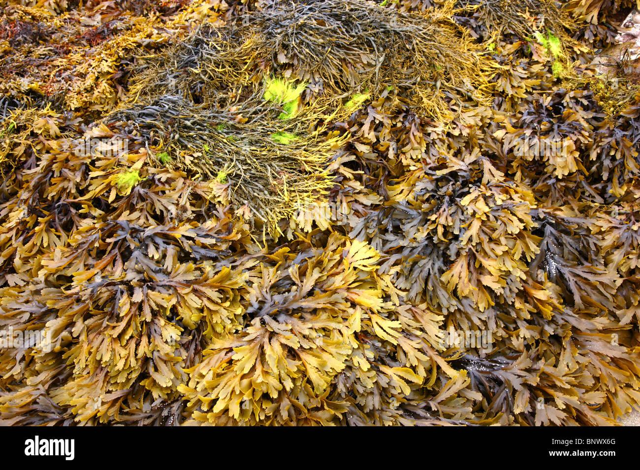 Seaweed, at low tide, algae, in the Atlantic ocean. Water ...