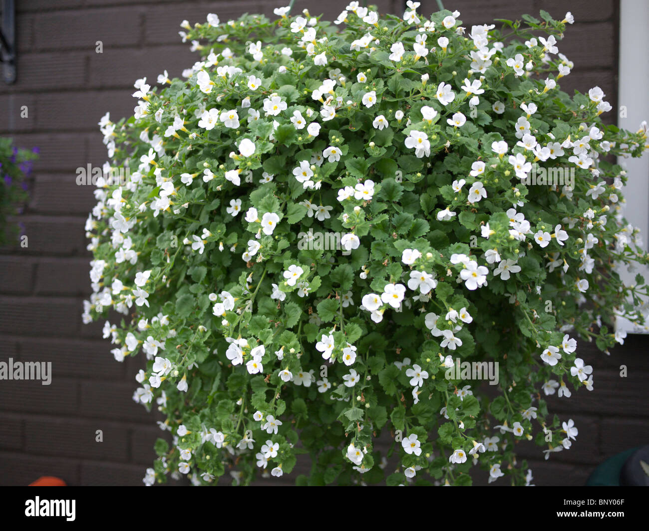Bacopa Snowtopia Seeds - White Bacopa Flower Seeds