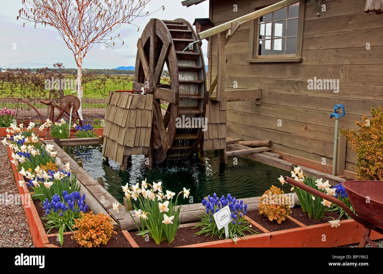 Stock Photo   This Stock Image Is A Water Wheel Is In A Beautiful Spring  Garden With Many Flower Bulbs Blooming, Daffodils, Grape Hyacinths