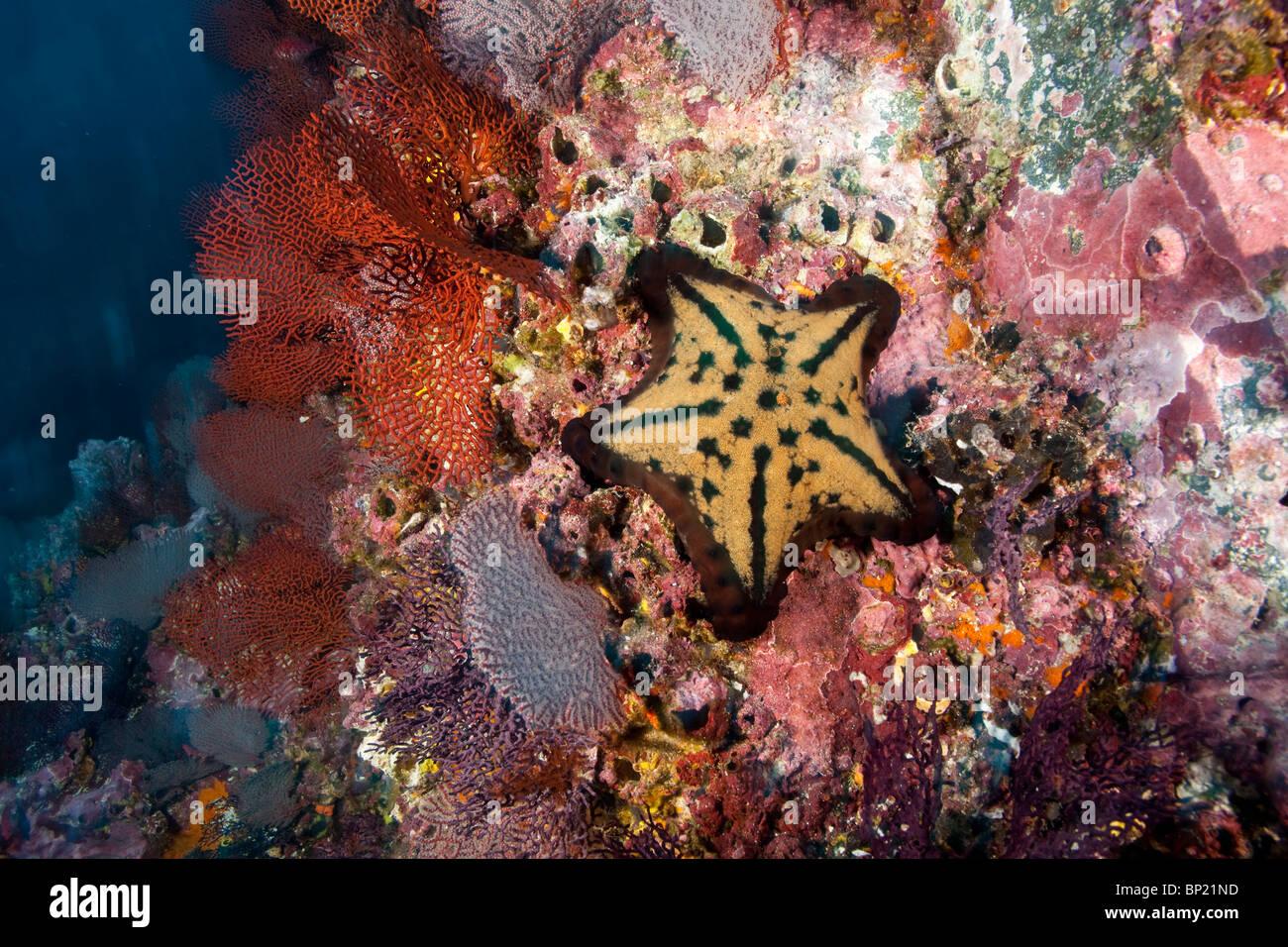 Chocolate Chip Starfish, Nidorellia armata, Malpelo, East Pacific ...