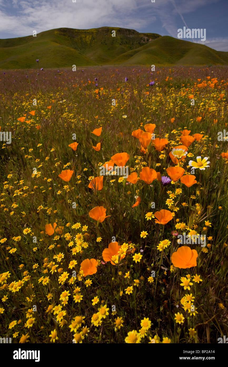 California poppies goldfields and other spring flowers at shell california poppies goldfields and other spring flowers at shell creek near san luis obispo s california mightylinksfo
