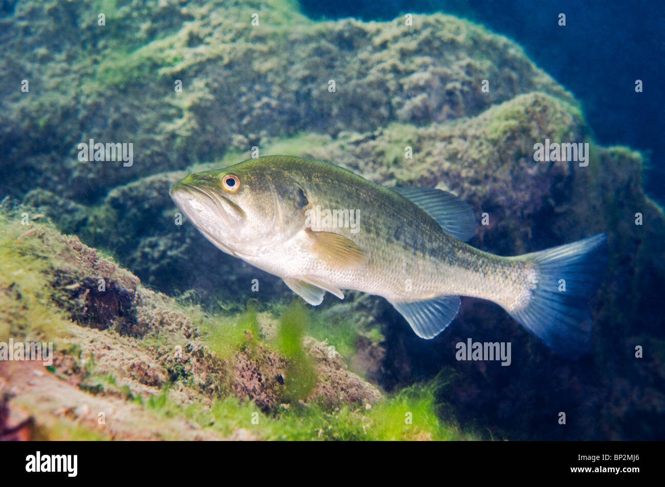 Freshwater fish online canada - A Largemouth Bass Freshwater Fish Patrols The Bottom Of A Quarry In Southern Ontario Canada
