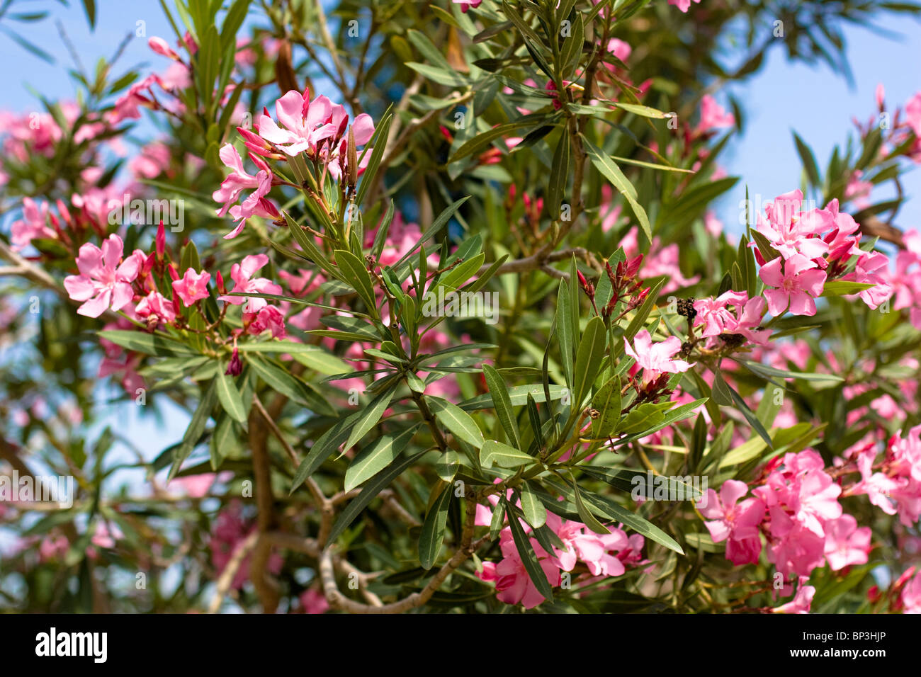 Nerium oleander tree with pink flowers alanya turkey - Nerium oleander ...