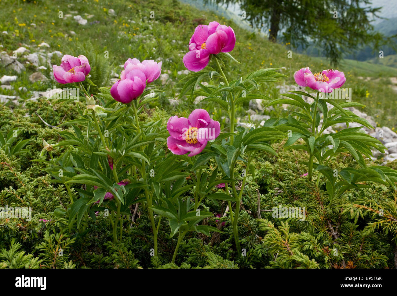 Clumps of a peony paeony paeonia officinalis on the for Paeonia officinalis