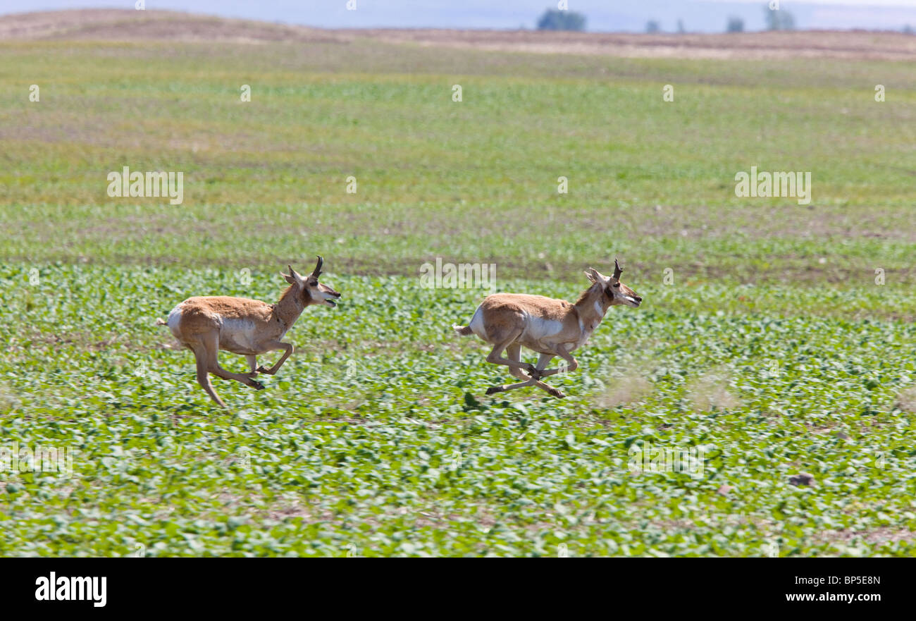 Pronghorn Antelope Running in Prairie Field Stock Photo ...