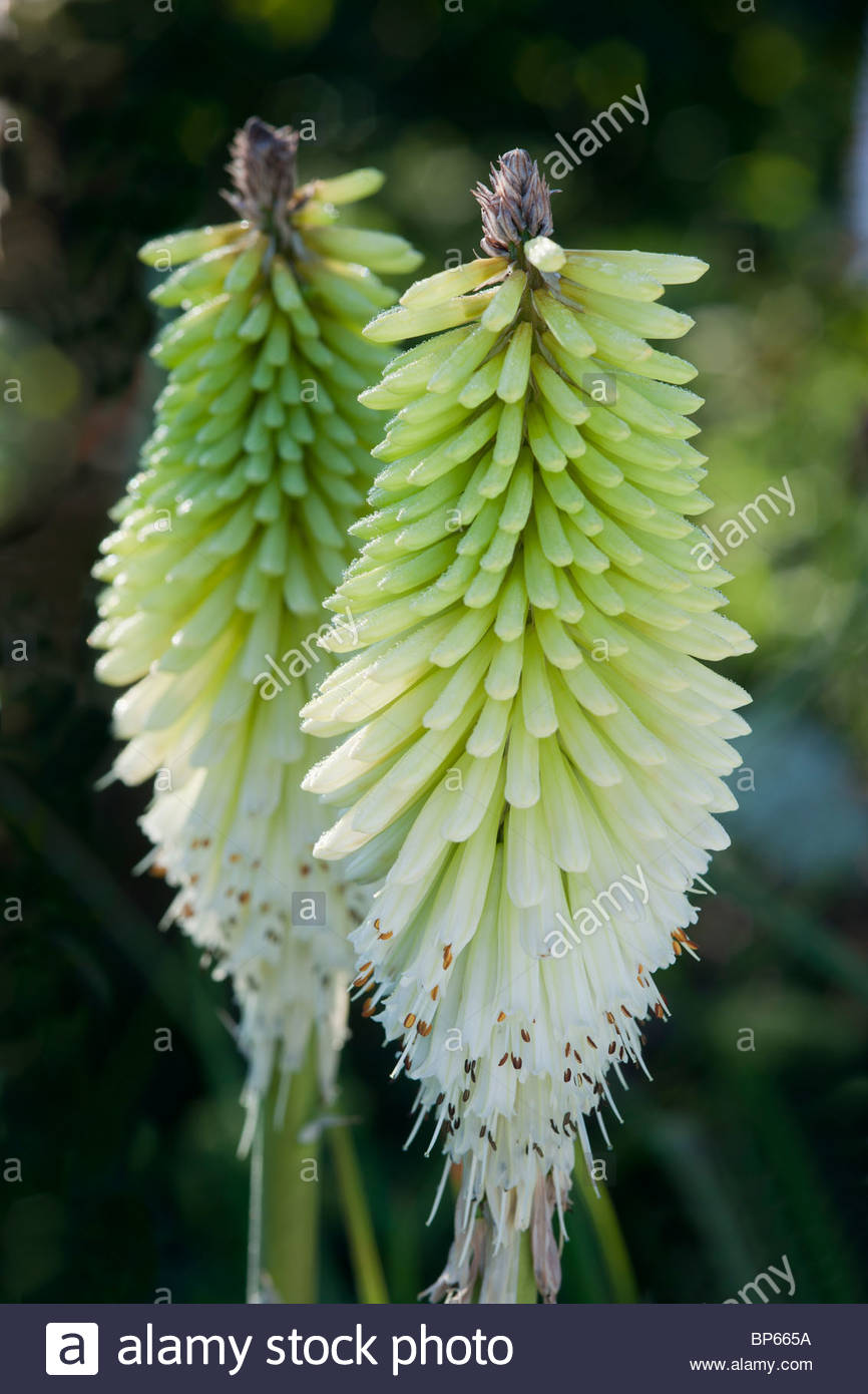 Red Hot Poker Kniphofia Ice Queen Late Summer Autumn