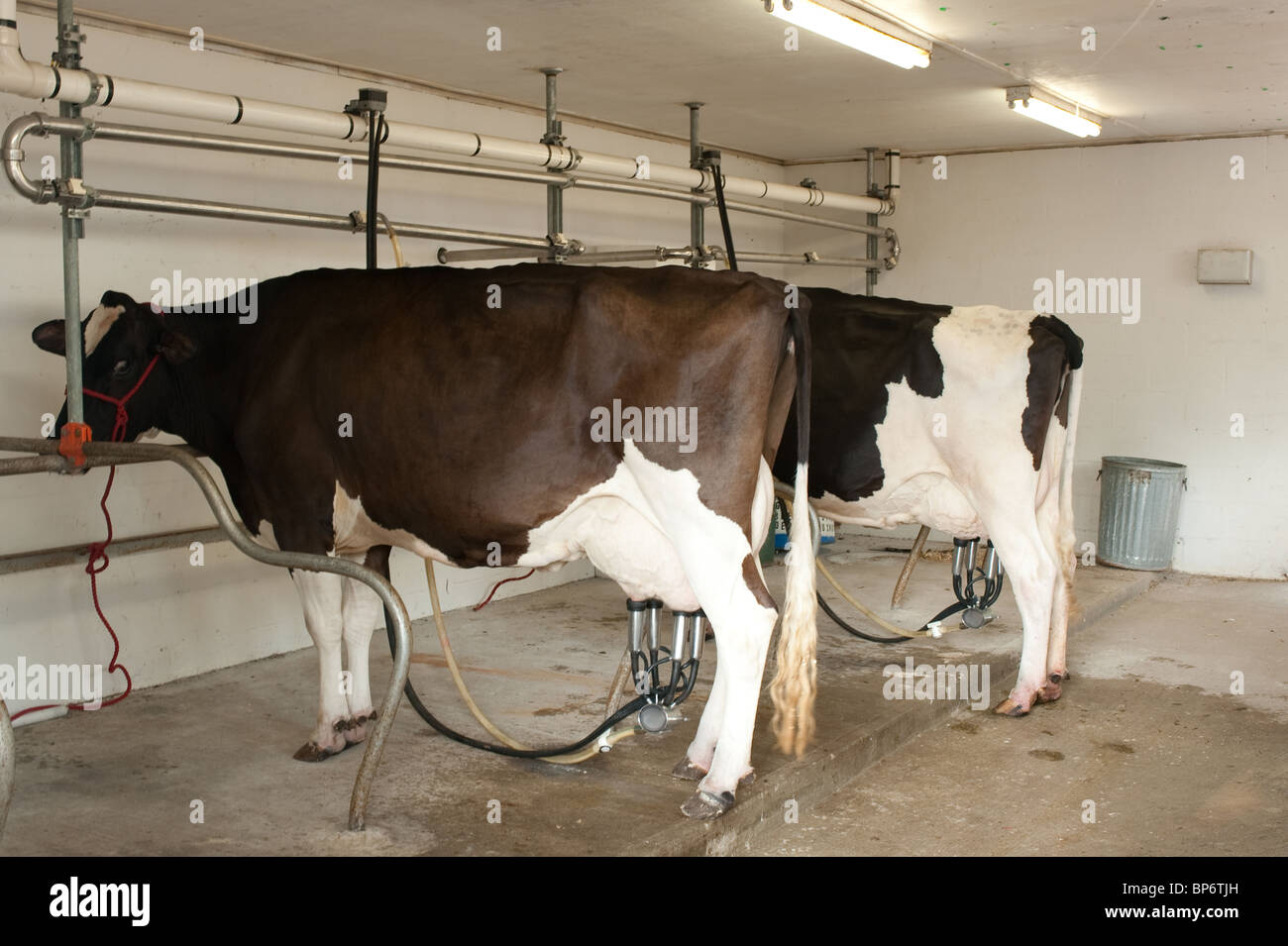 a cow by machine