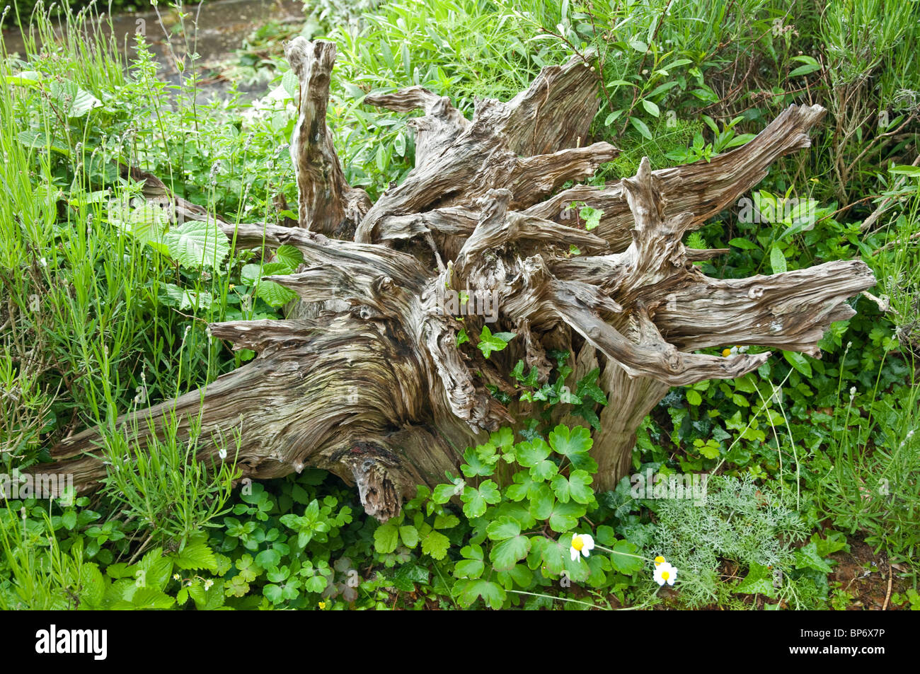 Stock Photo   Stumpery   Attractive Remains Of Tree Stumps   Used For  Sculptural / Decorative Effect In Gardens. Bryans Ground, UK