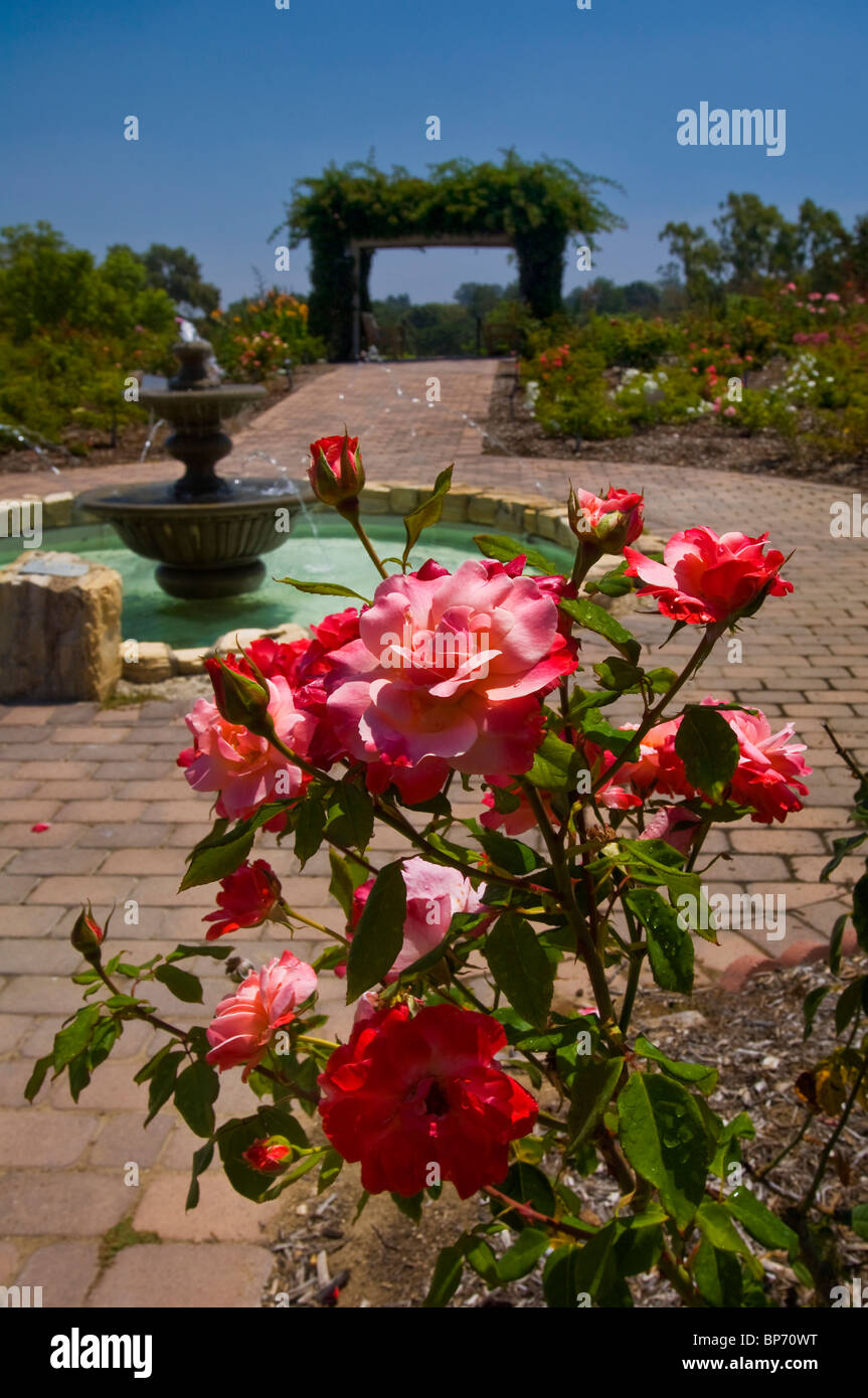 Red Rose Garden Flowers In Bloom In Front Of Water Fountain, South Coast  Botanical Garden, Palos Verdes Peninsula, California